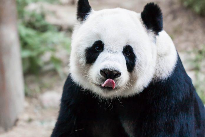 Coinslot - panda
